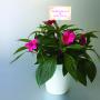 鉢花 写真 エレガントスティック ストロースティック
